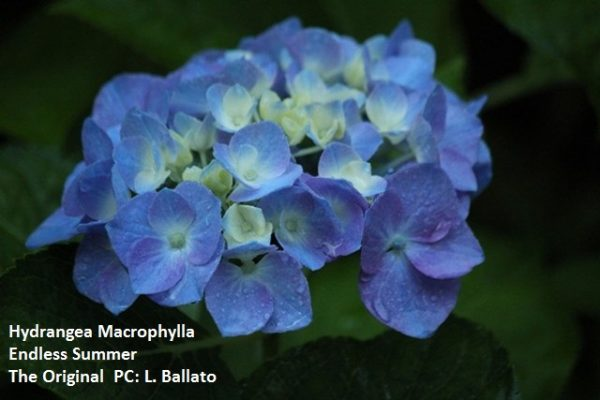 If your flowers are round and blue, that's a big leaf hydrangea and old wood - National Garden Bureau