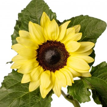 Solsation™ Lemon from Evanthia - Year of the Sunflower - National Garden Bureau