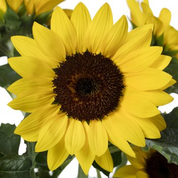 Solsation™ Yellow from Evanthia - Year of the Sunflower - National Garden Bureau