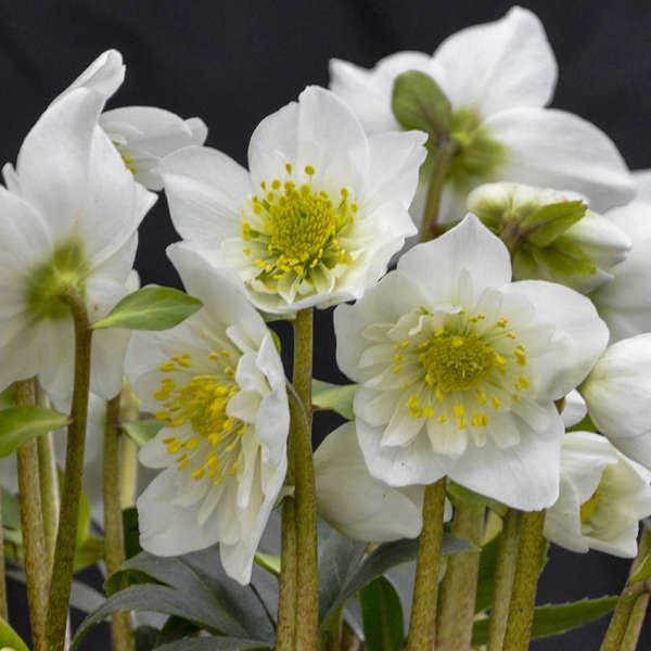 Hellebore 'Snowbells' - National Garden Bureau