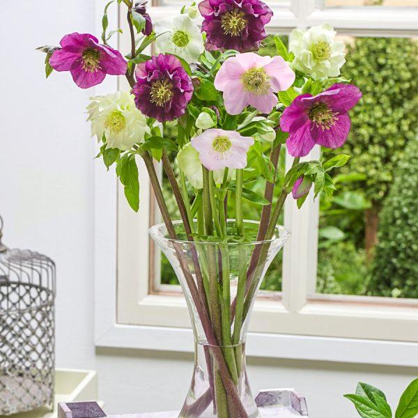 Hellebore do well as cut flowers - National Garden Bureau