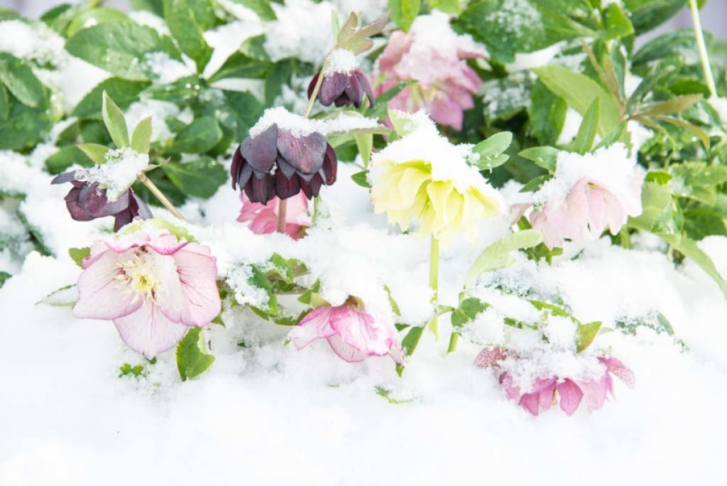 Hellebores love the cold and some varieties will even bloom in the snow - National Garden Bureau