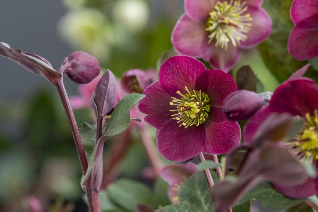 Blooms on Hellebore - National Garden Bureau