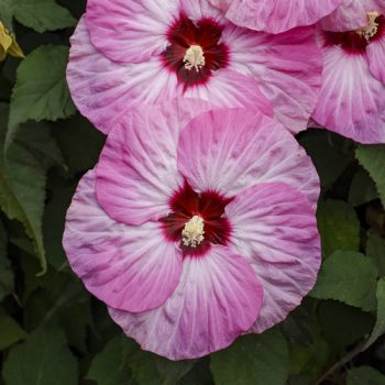 Summerific Spinderella from Proven Winners - Year of the Hardy Hibiscus - National Garden Bureau