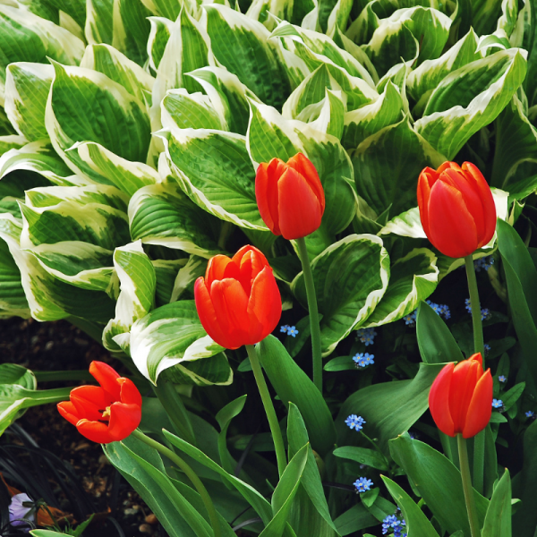 Create a continuous show of color by planting tulips and hostas together - Ultimate Curb Appeal - National Garden Bureau
