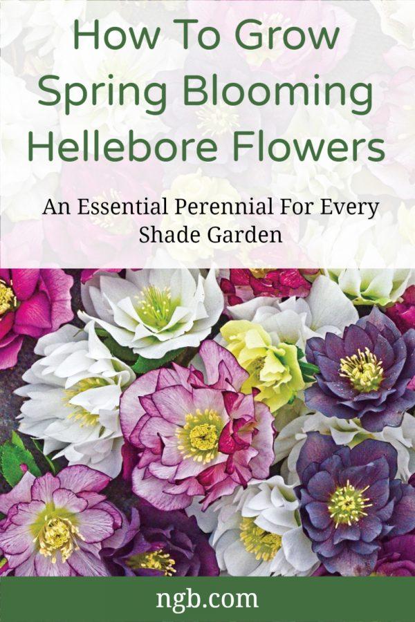 Growing Spring Blooming Hellebore Flowers for your shade garden. Deer Resistant - National Garden Bureau