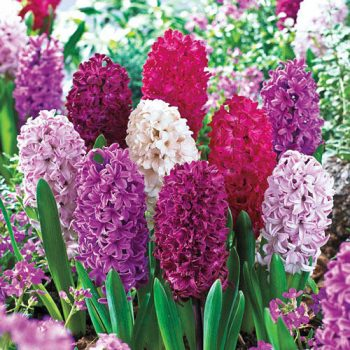 Monet Mixture Hyacinth from Breck's - Year of the Hyacinth - National Garden Bureau