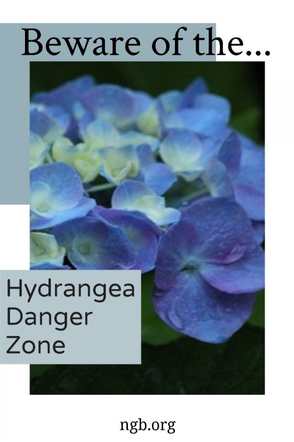 Beware of the Hydrangea Danger Zone - The Key is to Know Which Hydrangeas Flower on Old Wood - National Garden Bureau