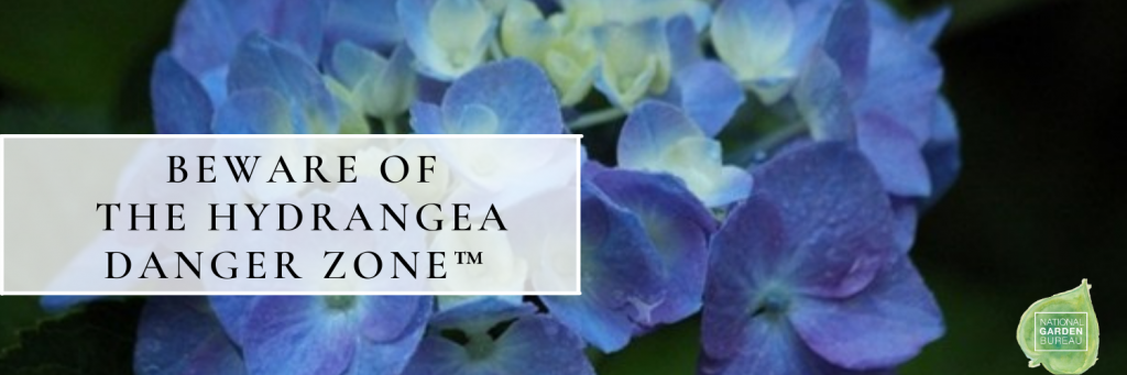 Beware of the Hydrangea Danger Zone when pruning your Hydrangeas - National Garden Bureau