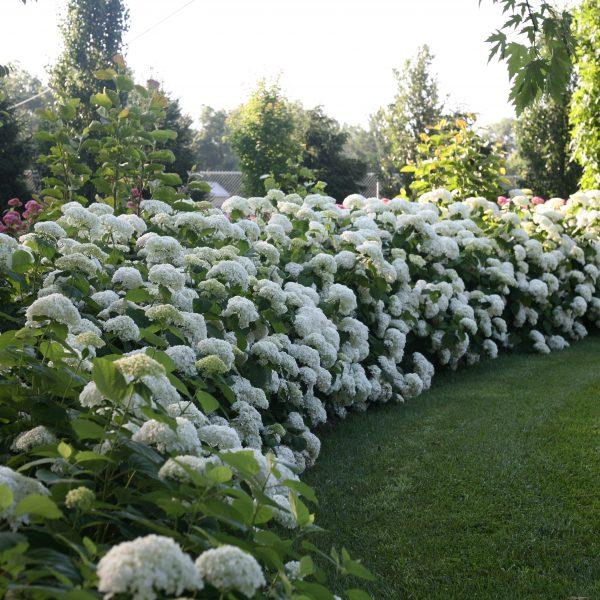 Hydrangea Incrediball for Curb Appeal - National Garden Bureau