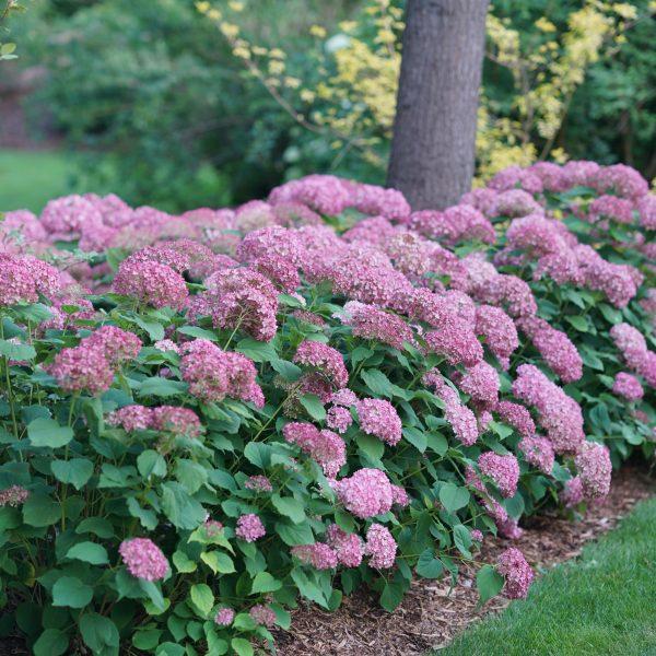 Hydrangea Invincibelle Spirit II for Curb Appeal - National Garden Bureau