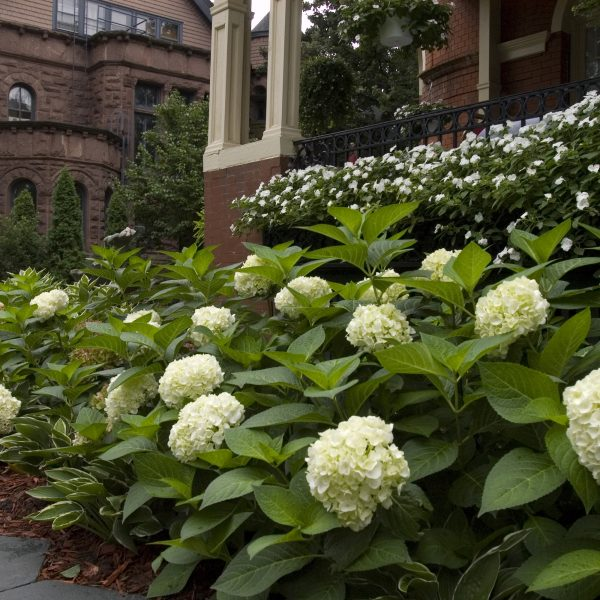 Hydrangea Endless Summer Blushing Bride for Curb Appeal