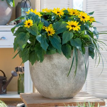 Solsation™ Yellow Spirit from Evanthia - Year of the Sunflower - National Garden Bureau