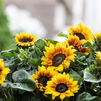 Solsation™ Flame from Evanthia - Year of the Sunflower - National Garden Bureau