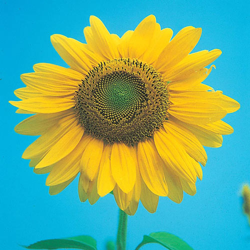 Sunflower-Mammoth-Gray-Stripe