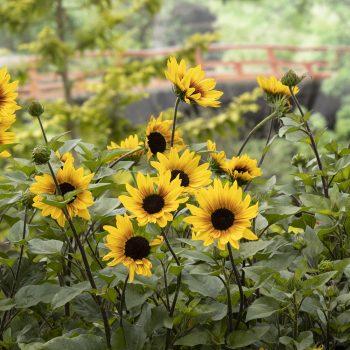 SunBelievable™ Sunflowers from Monrovia - Year of the Sunflower - National Garden Bureau