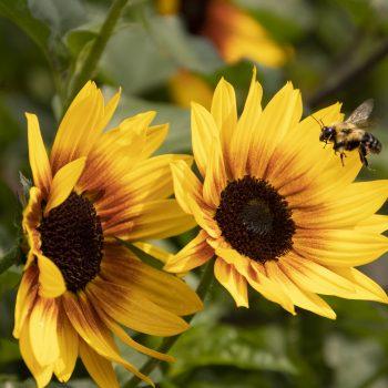 SunBelievable™ Sunflower from Monrovia - Year of the Sunflower - National Garden Bureau