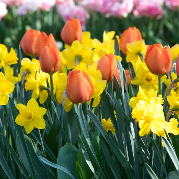 Mix Trumpet Daffodils with Darwin Tulips for excellent Curb Appeal - National Garden Bureau