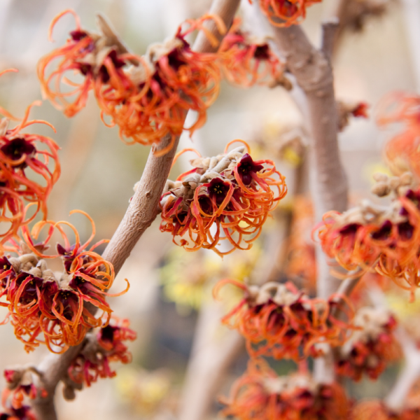 Witch Hazel is a great plant for curb appeal - National Garden Bureau
