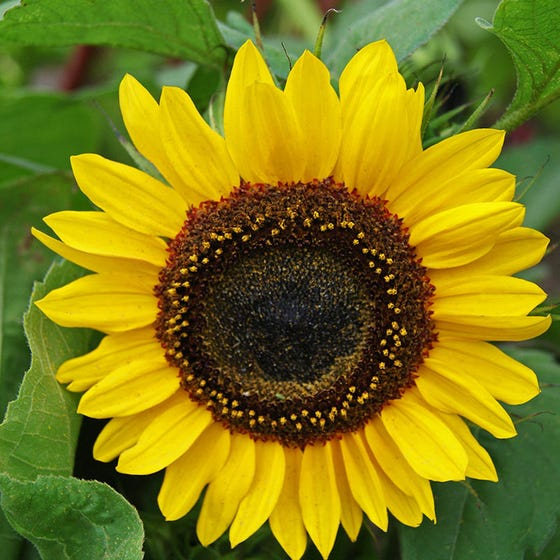 Sunflower Domino