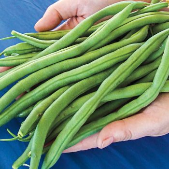 Bean The Hulk Bush Bean from NGB member Gurney's Seeds and Plants - Year of the Garden Bean - National Garden Bureau