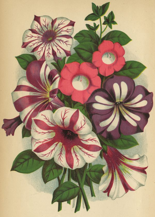 The petunia was one of the most popular Victorian flowers that is still popular today - National Garden Bureau