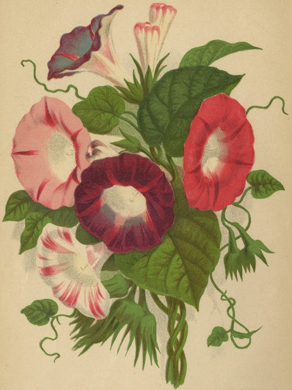 Morning Glory Flowers are a Victorian Flower that is still popular today - National Garden Bureau