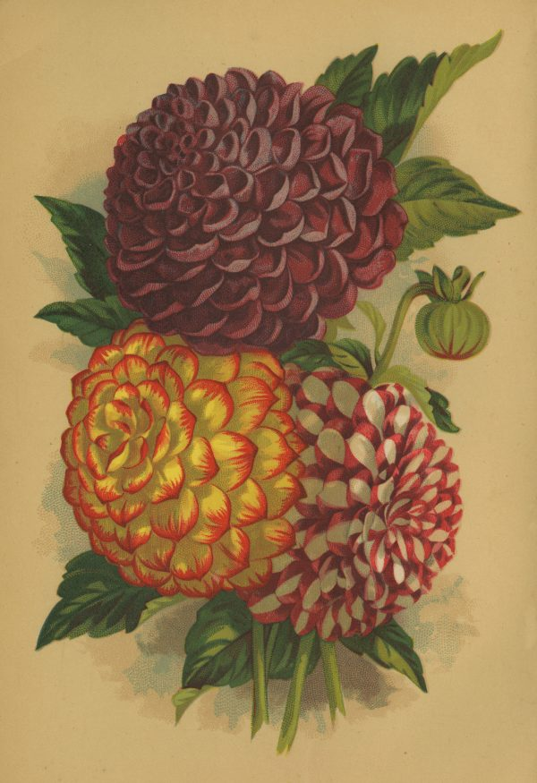 Dahlias are one of the top 10 Victorian Flowers grown today - National Garden Bureau