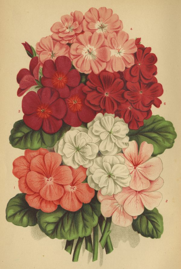 The geranium was one of the most popular Victorian flowers that is still popular today - National Garden Bureau