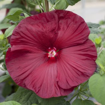 Hardy Hibiscus Deep Red From Syngenta - Year of the Hardy Hibiscus - National Garden Bureau