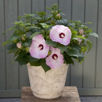 Hardy Hibiscus Light Rosefrom Syngenta- Year of the Hardy Hibiscus - National Garden Bureau