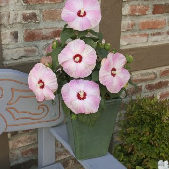 Hardy Hibiscus Light Rose from Syngenta- Year of the Hardy Hibiscus - National Garden Bureau