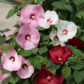 Hardy Hibiscus Mix from Syngenta- Year of the Hardy Hibiscus - National Garden Bureau