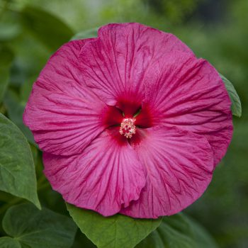 Hardy HibiscusRose from Syngenta- Year of the Hardy Hibiscus - National Garden Bureau