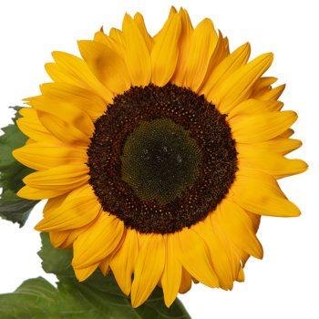 Solano™ Deep Orange Sunflower from Evanthia - Year of the Sunflower - National Garden Bureau