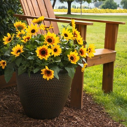 SunBelievable™ Brown Eyed Girl Helianthus makes for a perfect Mother's Day Gift