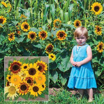 Sunflower Gruney's Sunny Hedge Sunflower Blend from Gurney's Seed and Plants - Year of the Sunflower - National Garden Bureau