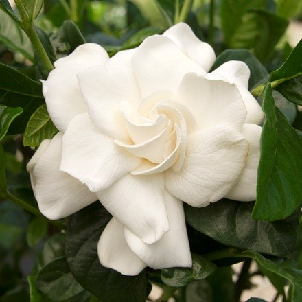 First Love® Gardenia, a beautiful fragrant double bloom for Mother's Day