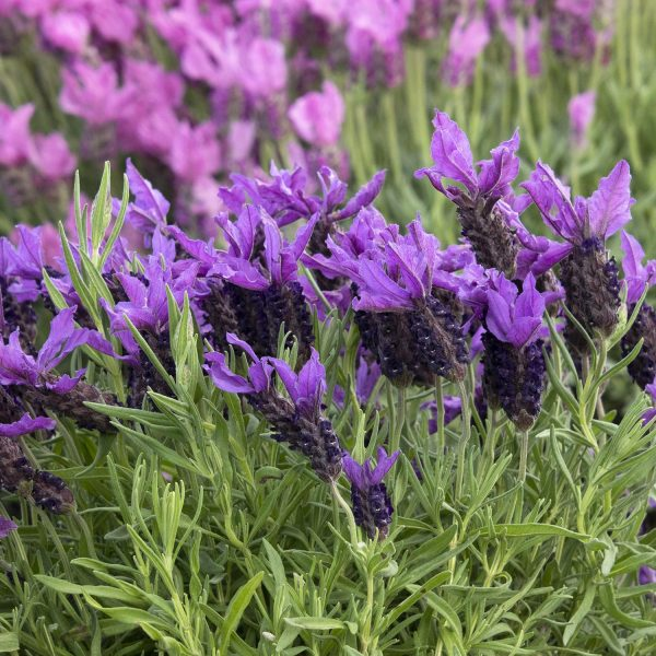 Javelin Forte™ Deep Purple Spanish Lavender makes a perfect Mother's Day Gift