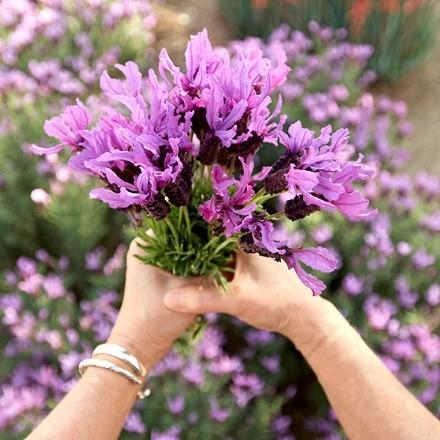 Javelin Forte™ Deep Purple Spanish Lavender for Mom