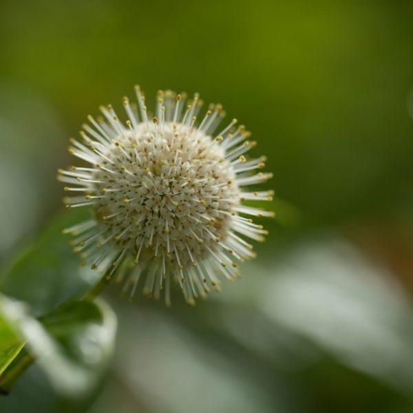 Fibre Optics Buttonbush is a great shrub for cut flower designs - National Garden Burea