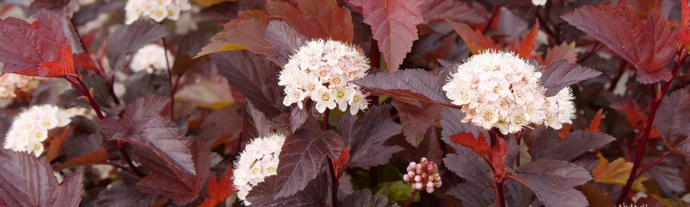 Ginger Wine Physocarpus is perfect for cut flowers from your flowering shrubs - National Garden Bureau