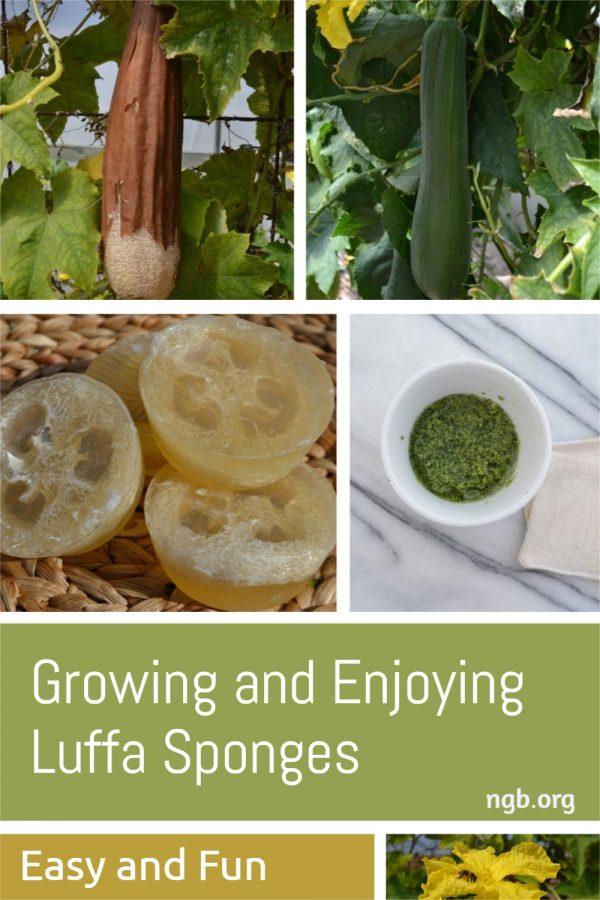 Growing and Enjoying Luffa Sponges - National Garden Bureau