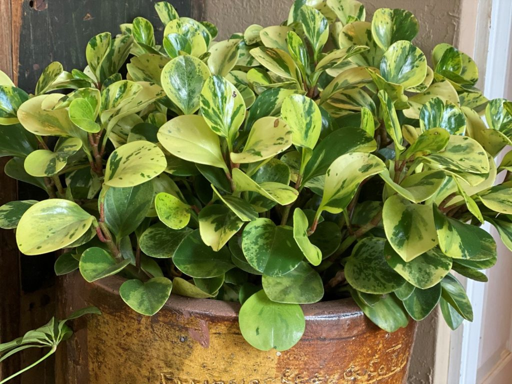 Healthy variegated peperomia starts the season indoors before going out to the garden - National Garden Bureau