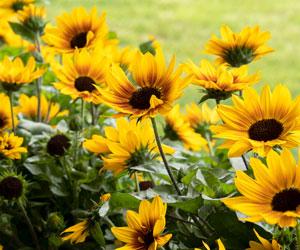 SunBelievable™ Sunflowers Shines On