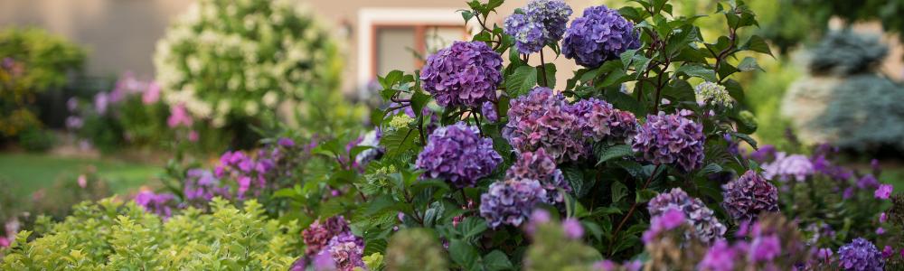 Hydrangeas are an ideal shrub to add to your cutting garden - National Garden Bureau