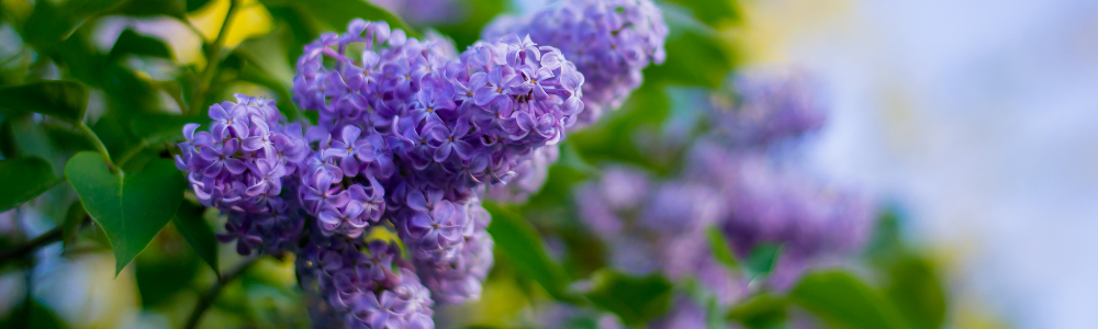 Lilacs as a cut flower from your Flowering Shrubs - National Garden Bureau