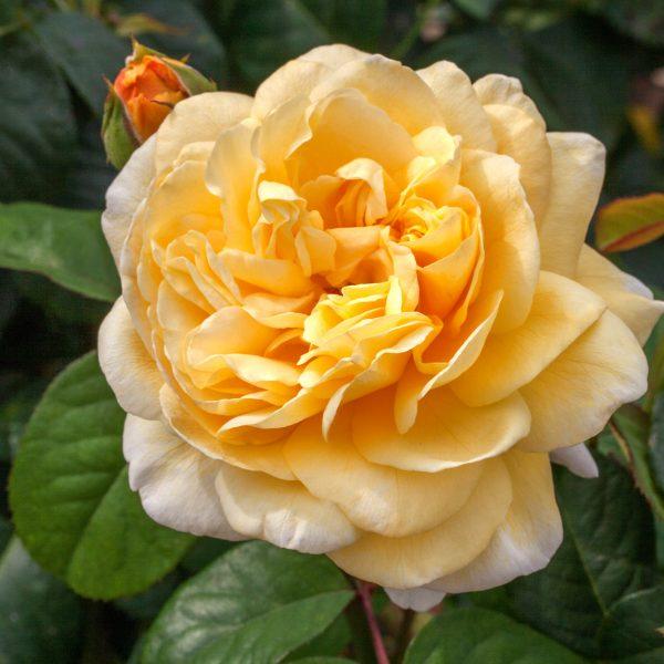Rose Moonlight Romantica