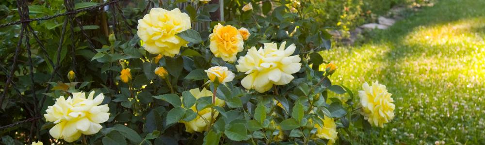 Roses make the idea cut flower from shrubs - National Garden Bureau