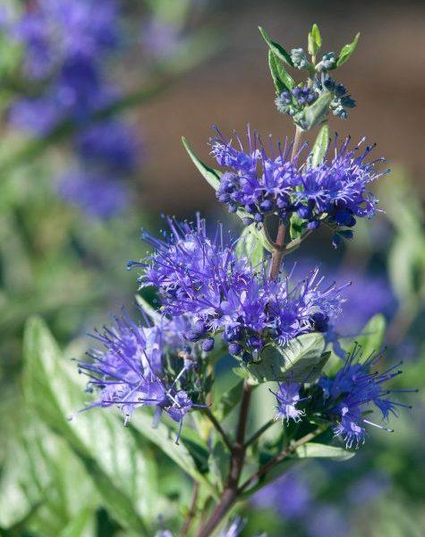 Sapphire Surf Bluebeard - Great for cut flower gardens - National Garden Bureau